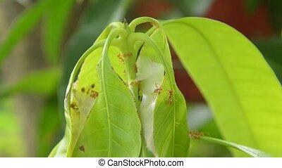 red ant climbing on nest mango leaf in garden
