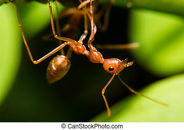 Red ant in the nature