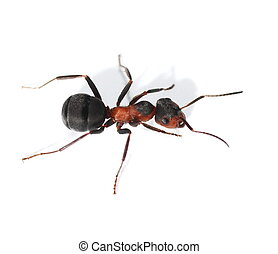 Red ant isolated on white background (Formica rufa), red...
