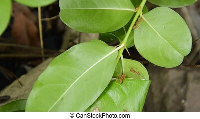red ant protect and climbing on nest leaf in garden