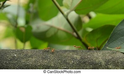 red ant walking on cement wall and communicated with...
