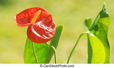 Red anthurium flower in botanic garden