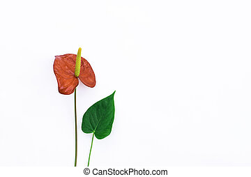 Red anthurium on a white background.