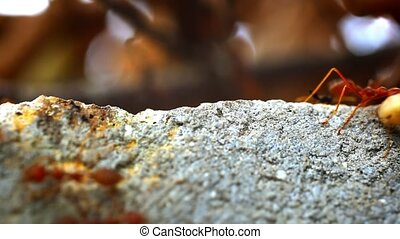 Red ants carry your own food larva. Macro video