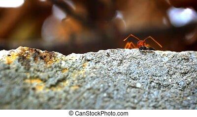 Red ants get their food larva, midge, bug. Macro video...