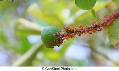 Red ants walking on lemon fruit teamwork concept
