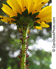 Red Aphids on a Black-eyed Susan flower - Red and black...