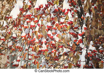 red Apple apples  in snow