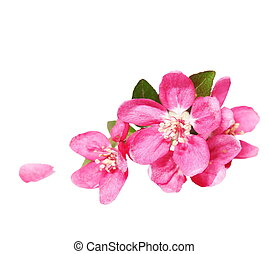 Red apple blossom isolated on white - Red apple blossom,...