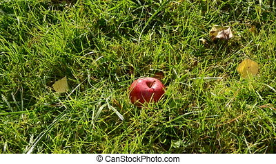 red apple fall down on the grass