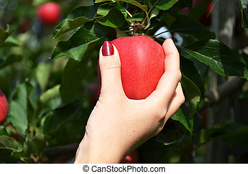 Red apple in the hand