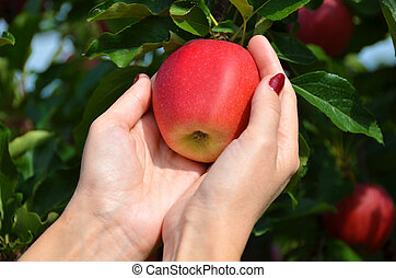 Red apple in the hands