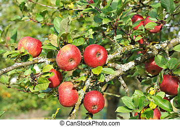 red apple in the tree