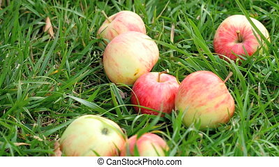 Red apples at grass in summer - A Hand is picking a red...