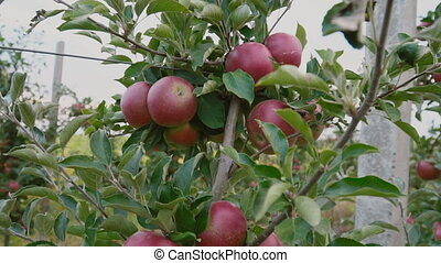 red apples close-up