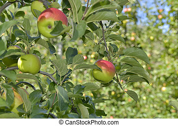 red apples growing in a apple tree