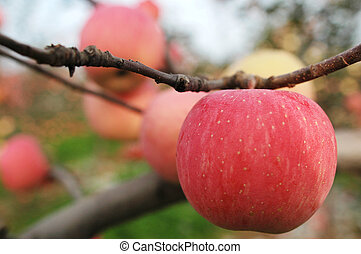 Red apples hanging in the branches