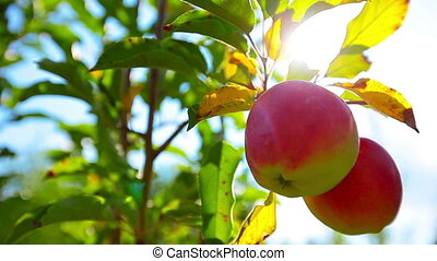 red apples hanging on a tree