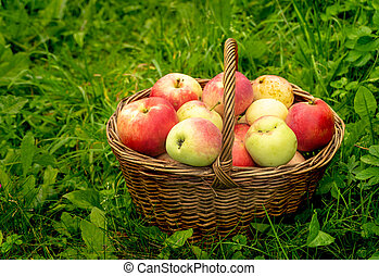 apples in a basket on a background of green grass