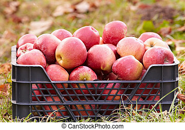 Red apples in a crate
