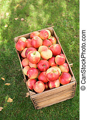 Red apples in a wooden cassete