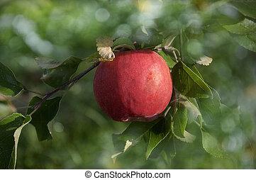 red apples in the garden