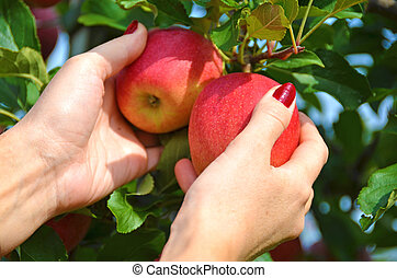 Red apples in the hands