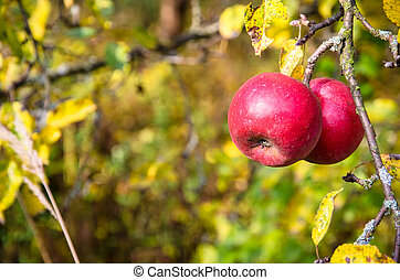 red apples in tree