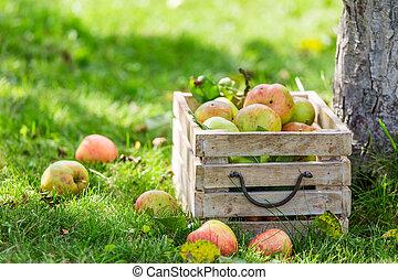 Red apples in wooden box in summer garden