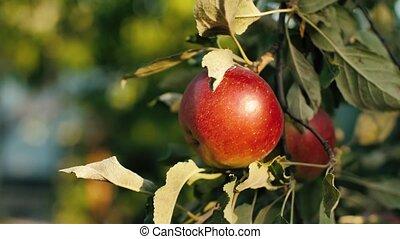 Juicy red apples in garden