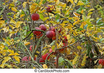 red apples on a tree branch with yellow and green leaves