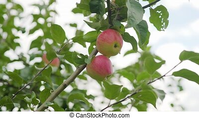 Red apples on the tree