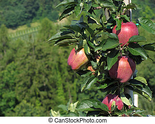 Red apples on tree branches