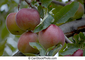 red apples with leaves on  branch
