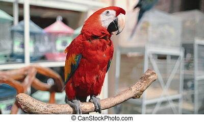 red ara parrot close up in exotic bird market