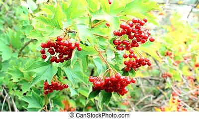 Red arrowwood berries swaying in breeze