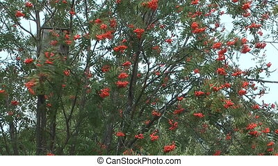 Red ashberry. - HD 1080 clip of autumn red mountain ash.