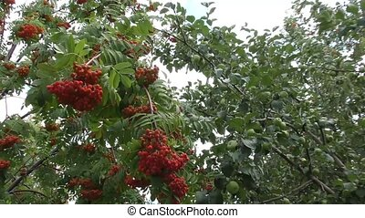 Red ashberry sways in the wind