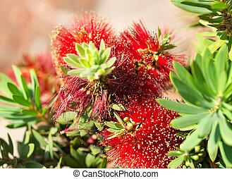 Red bottlebrush flower Australian native plant Callistemon Little John cultivar