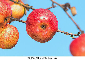 Red autumn apples on a branch