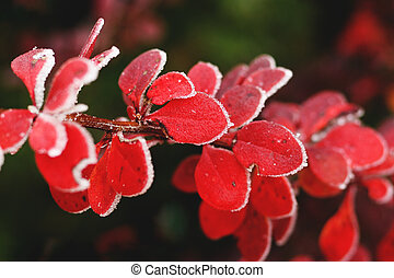 Red autumn barberry leaves close-up with hoarfrost