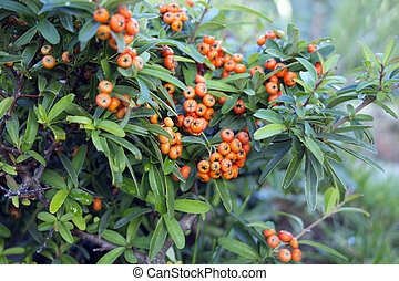 Red autumn berries of Pyracantha