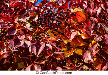 Red autumn climbing Parthenocissus leaves and berries in...
