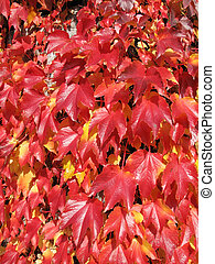 Red autumn grape leaves
