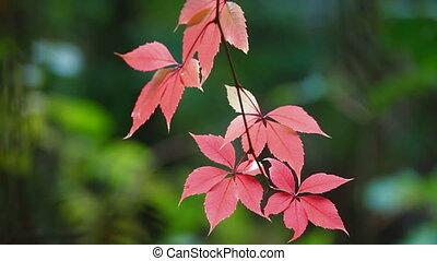 Red autumn leaf in the rain