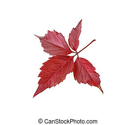 Red autumn leaf isolated on white background. Grape leaf.