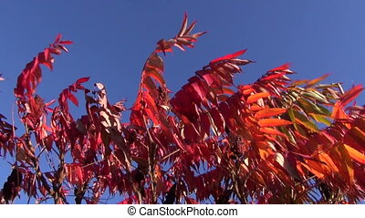 red autumn leaves and blue sky