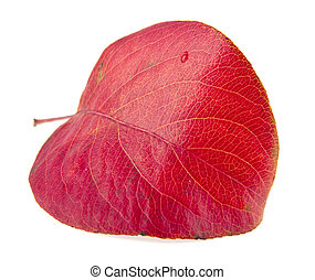red autumn leaves are isolated on a white background