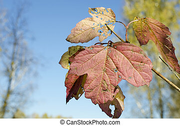 red autumn leaves of a mountain ash