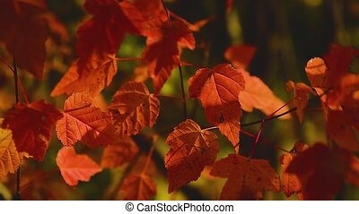 Red autumn leaves of a tree sway in a gentle breeze close up